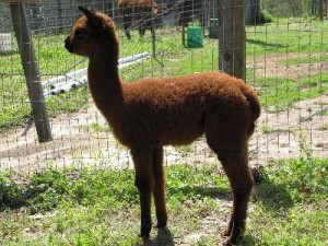 Jane's first cria, a dark brown female, Cushy's Zanna.